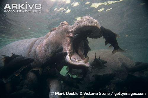 Mutualism Of The Month Hippopotamus And Their Fish Partners Feed