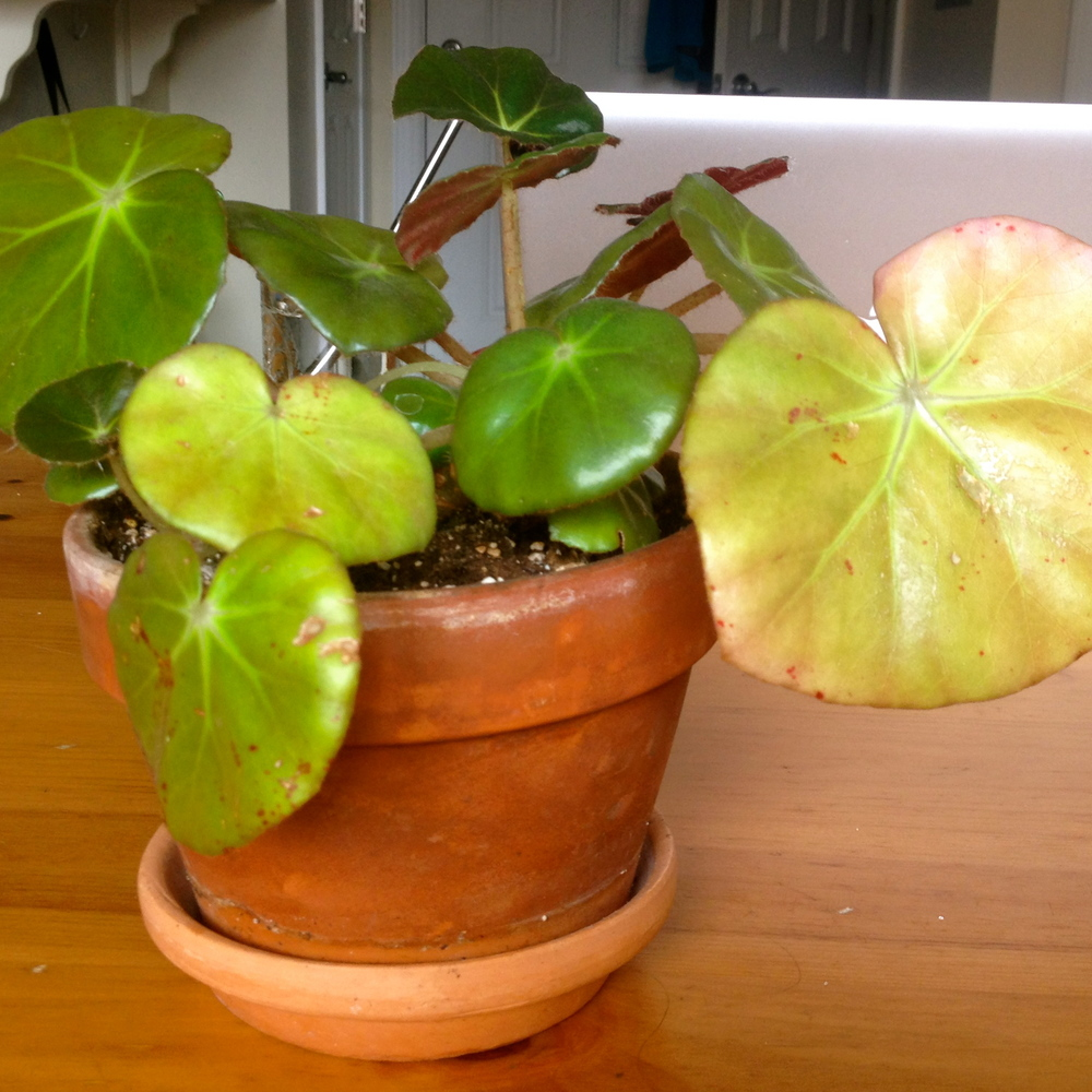 Older leaves on the bottom and right are yellow and unhealthy compared to new green leaves.