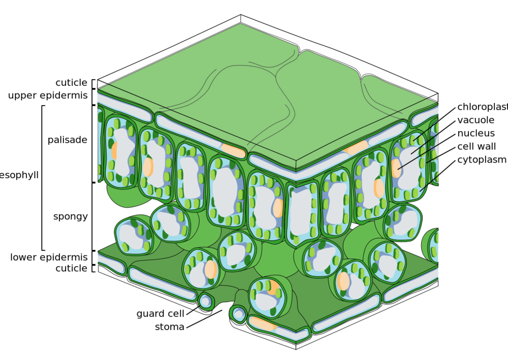 Cell types in a leaf. Image from  wikipedia