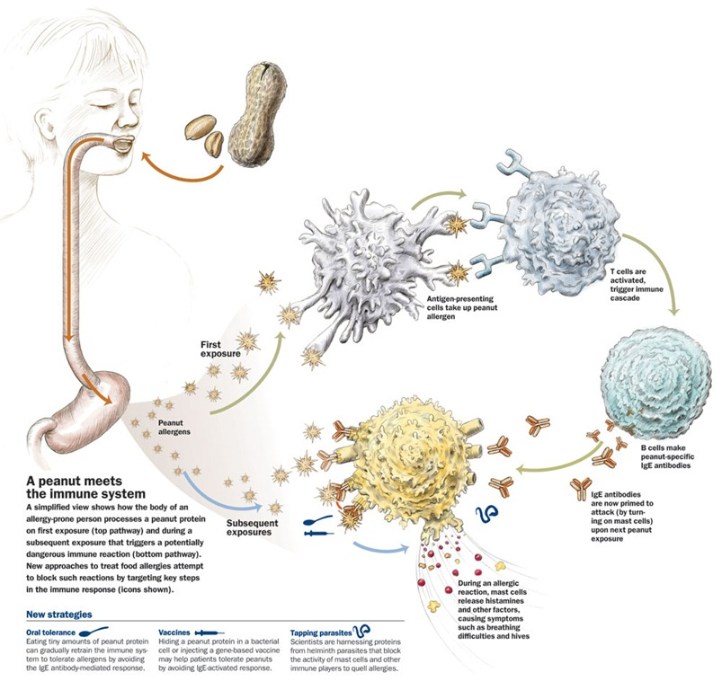 Diagram of immune response to allergen. Image taken from  Clover Hill Dairies Diary  blog.
