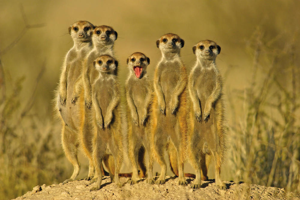 Meerkats frequently employ the use of alarm signals to warn each other about impending danger. Bob's always ruining the family picture. Photo courtesy of rateeveryanimal.com.