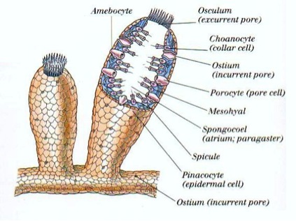 Structure of a sponge. Image source.