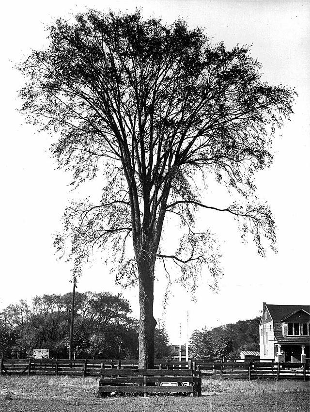 A stately American elm(Ulmus americana), pre-Dutch elm disease