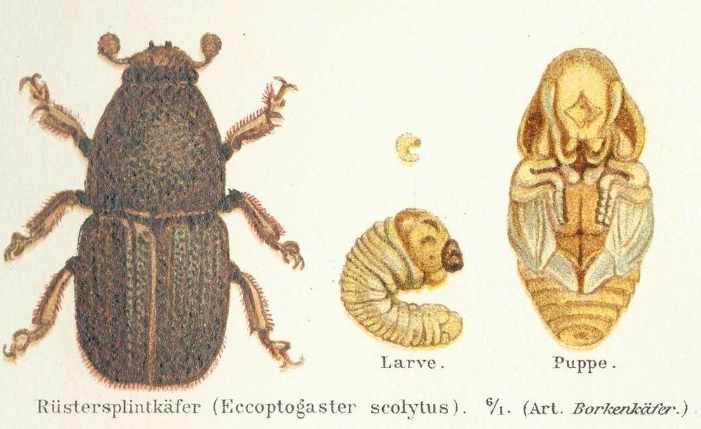 One species of elm bark beetle, Scolytus scolytus. There are at least three species.