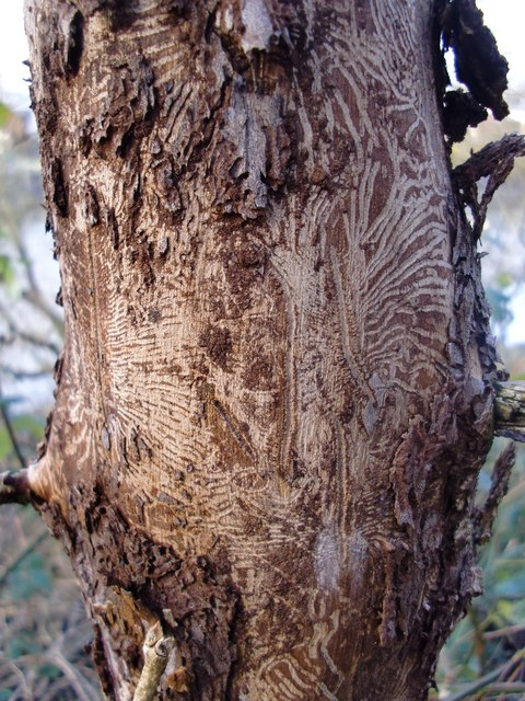 Bark beetle damage on an elm.  Photo courtesy of Stefan Czapski.