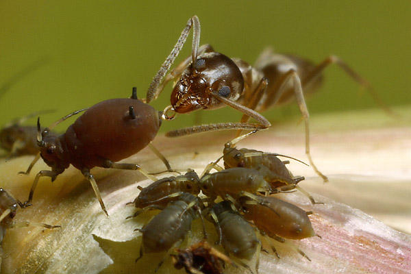 "An aphid being ""milked"" by an ant. A droplet of honeydew can be seen being produced at the back-end of the aphid, which the ant is consuming.  Photo credit ."