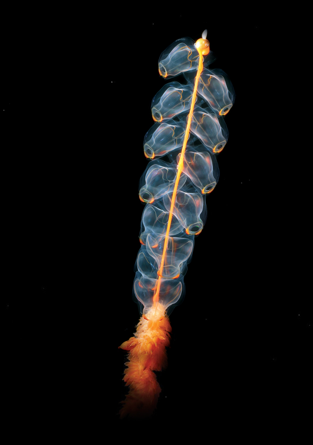 The siphonophore, Marrus orthocann. Image source.