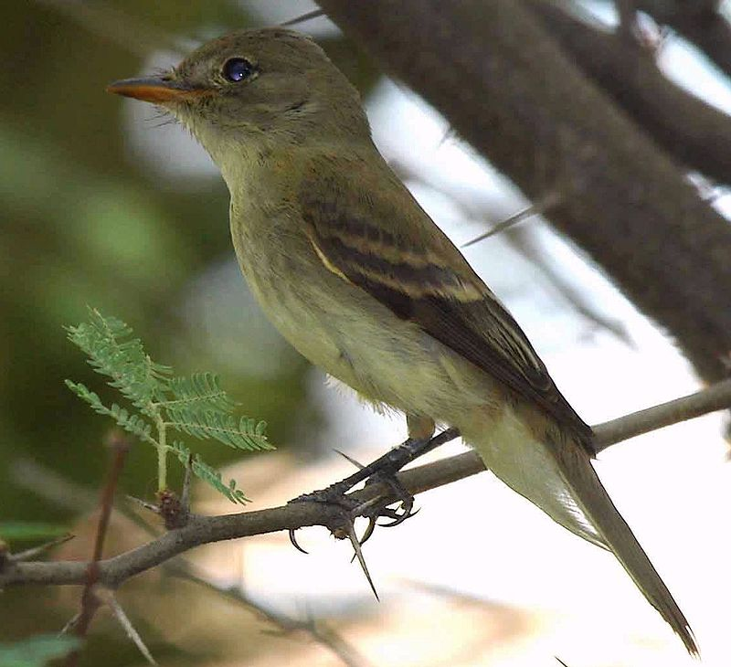 Southwestern Willow Flycatcher photo by Jim Rorabaugh/USFWS  via Wikimedia Commons