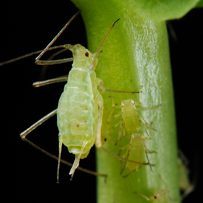 An adult pea aphid sucking the sap out of a plant. Alongside are several nymphs (younger stage), Photo source.