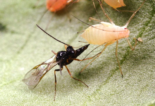"A parasitic wasp injecting an aphid with an egg. The egg will grow up into a larvae, consume the insides of the aphid as it grows and burst out once it is mature. Very ""Alien""-esque. Photo source."