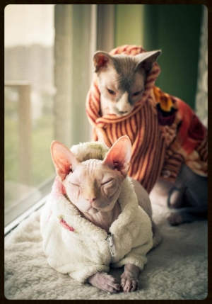 Cuddly sphinx cats. Image from: Pinterest via
