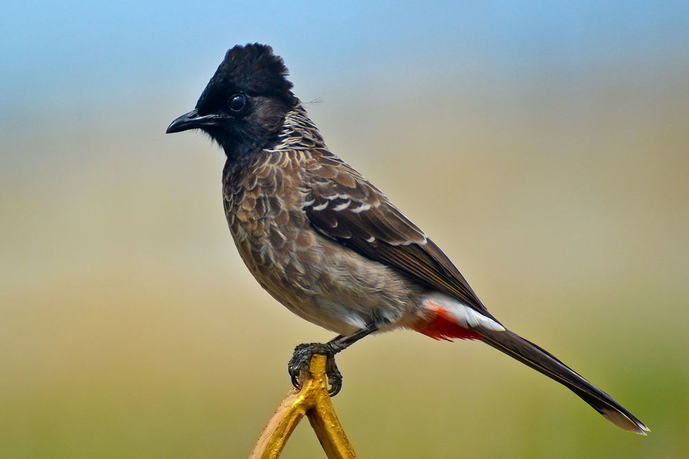 The red-vented (vent = rear) bulbul.  Photo source .