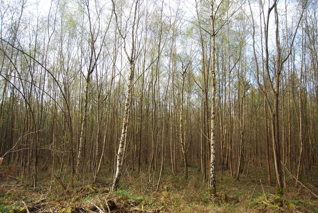 A forest of young birch whippersnappers.