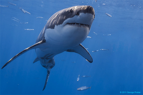 Great White Shark  ( Source )