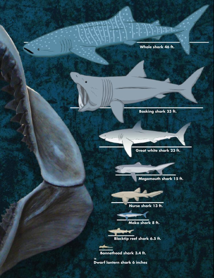 Different species of sharks and their comparative sizes  ( Source )