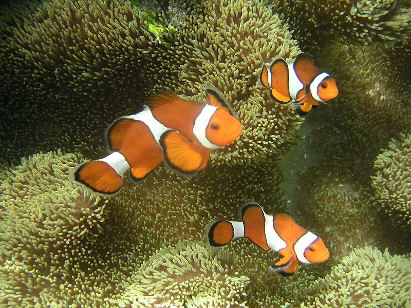 Female  Amphiprion ocellaris  with two smaller males. Image Credit:  Metatron, Wikimedia Commons