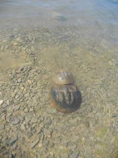 Horseshoe crabs spawning at high tide.