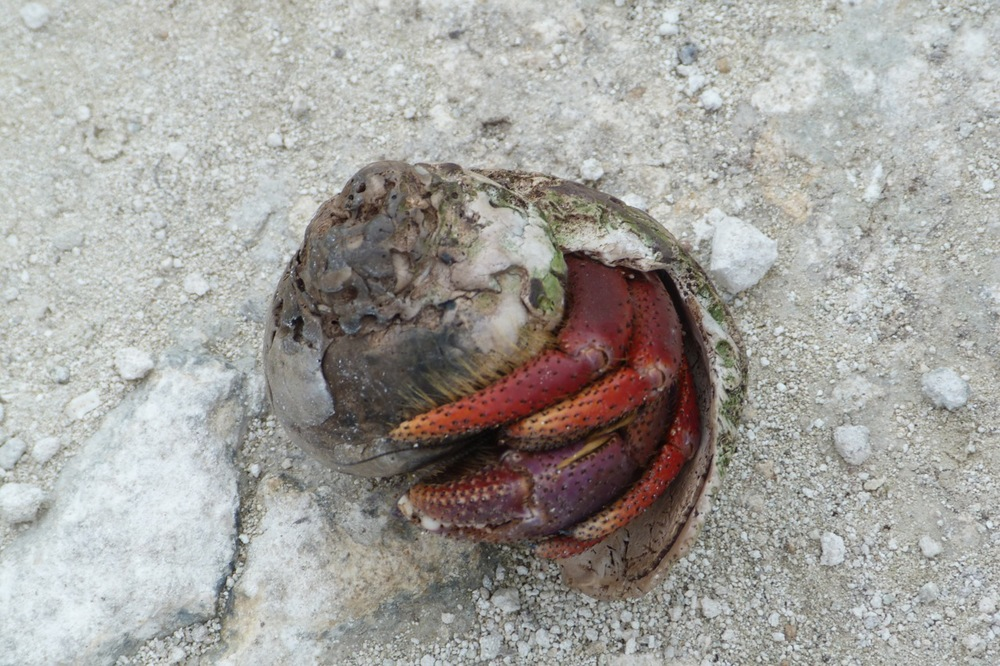 Hermit crab in its shell
