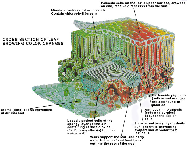 A zoomed in cross section of a leaf shows the various molecule groups (chlorophyll, carotenoids, and anthocyanins) involved in the photosynthesis and pigment of tree leaves in conjunction with their location in plant cells. Photo credit: USDA Forest Service