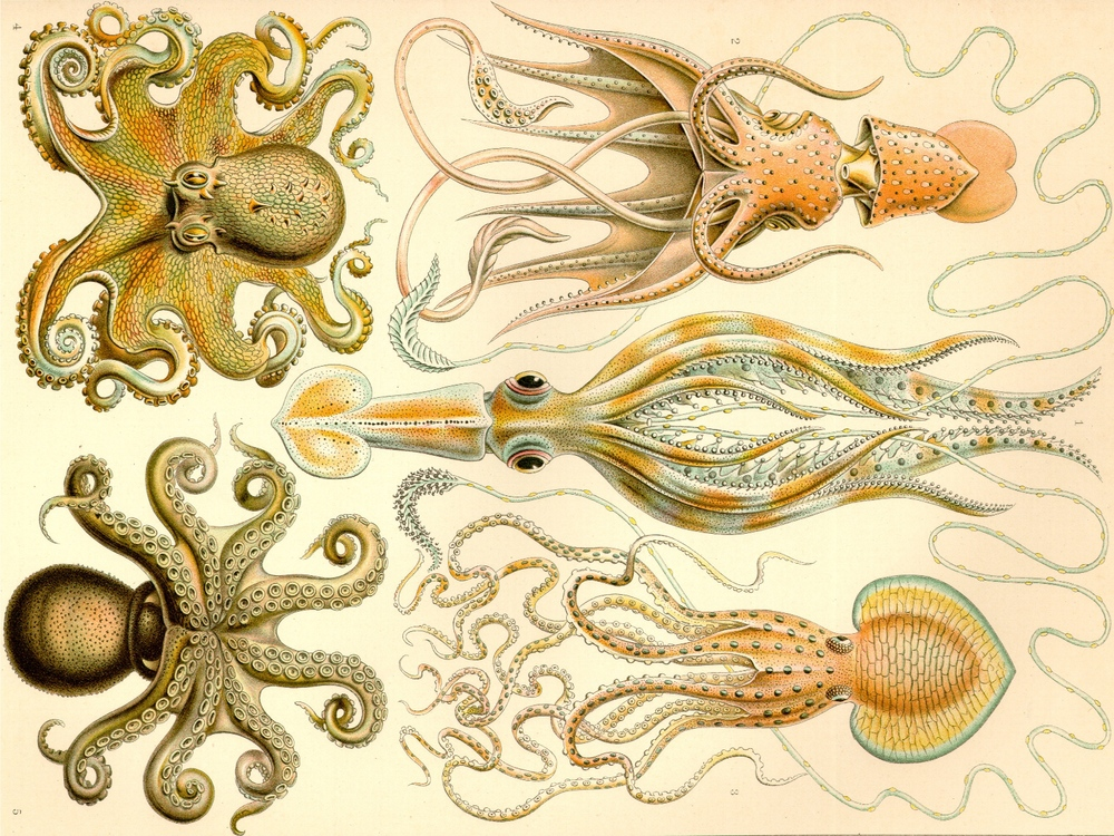 Ernst Haeckel's beautiful drawings of cephalopods. He illustrated over 100 animals and sea creatures, in incredible detail. Source