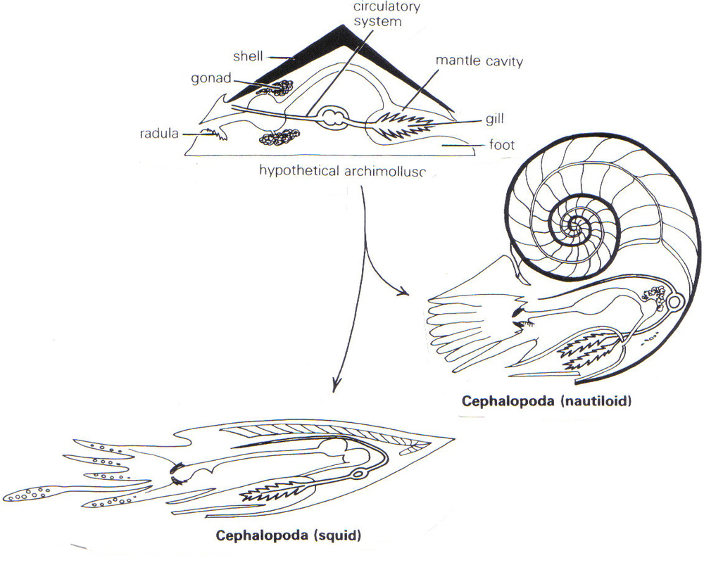 Basic cephalopod body plan. Source