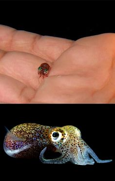 The pygmy squid, with human hand for comparison. Source
