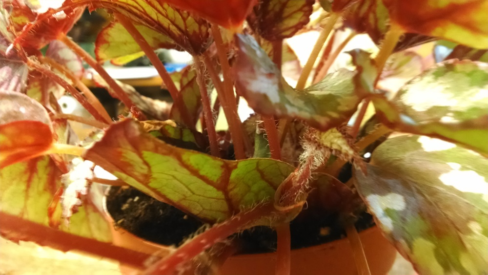 Begonias are houseplants that are propagated by cutting on a commercial scale. See the chopped off leaf in the center of the picture? That is the original cutting. Once rooted new leaves grew from it. Photo taken by Claire Collie