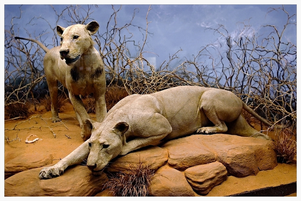 Taxidermy of two Tsavo lions as on display at the The Field Museum, Chicago, IL.