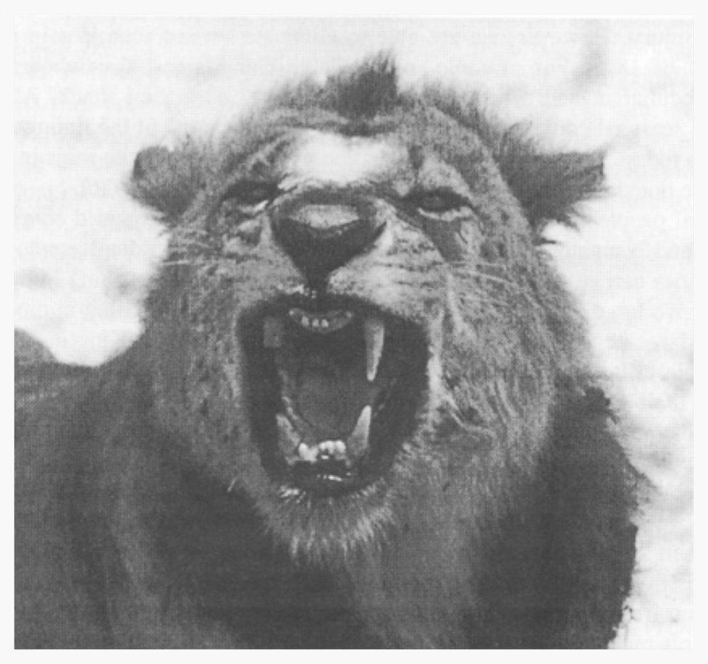 One of the two Tsavo lions.  (Image from:  Kerbis Peterhans, Julian C., and Gnoske, Thomas Patrick. (2001)  The Science of 'Man-Eating' Among Lions  Panthera leo  with a Reconstruction of the Natural History of the 'Man-Eaters of Tsavo' .)