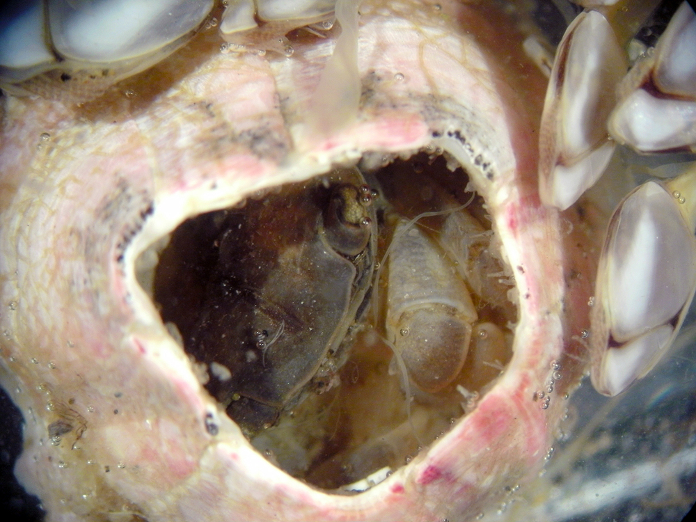 "A  Planes  crab found within the shell of a  Megabalanus rosa  (pink barnacle) and surrounded by  Lepas  barnacles       Normal   0           false   false   false     EN-US   X-NONE   X-NONE                                                                                                                                                                                                                                                                                                                                                                           /* Style Definitions */  table.MsoNormalTable 	{mso-style-name:""Table Normal""; 	mso-tstyle-rowband-size:0; 	mso-tstyle-colband-size:0; 	mso-style-noshow:yes; 	mso-style-priority:99; 	mso-style-parent:""""; 	mso-padding-alt:0in 5.4pt 0in 5.4pt; 	mso-para-margin:0in; 	mso-para-margin-bottom:.0001pt; 	mso-pagination:widow-orphan; 	font-size:12.0pt; 	font-family:""Times New Roman"",""serif"";}    . Photo credit: Megan McCuller"