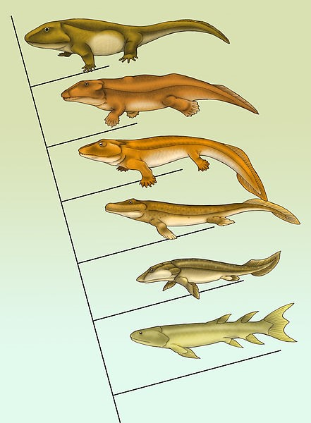 From muscular fins to weight bearing legs in five simple steps…just remove water. Image source: Wikimedia Commons