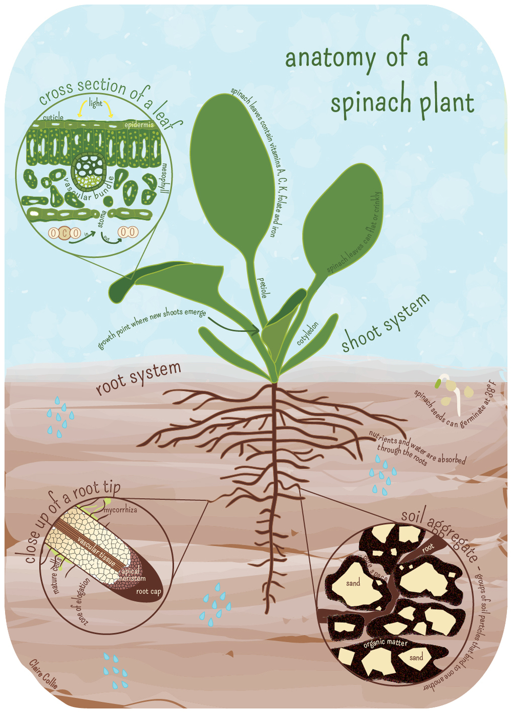 anatomy of a spinach plant