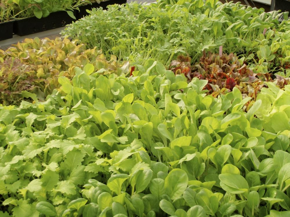 salad greens fall 2012