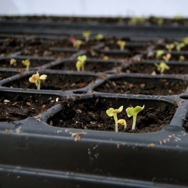 Salad greens sprouting in winter.  Photo credit: Claire Collie