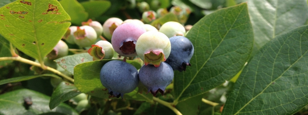 Ripening blueberries. Photo by Claire Collie