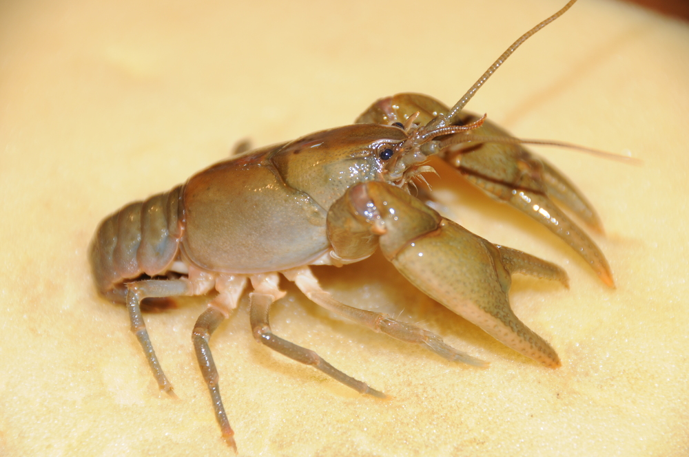 The common crayfish  Cambarus bartonii , one of the many hosts of cleaner-worms.  Photo source .
