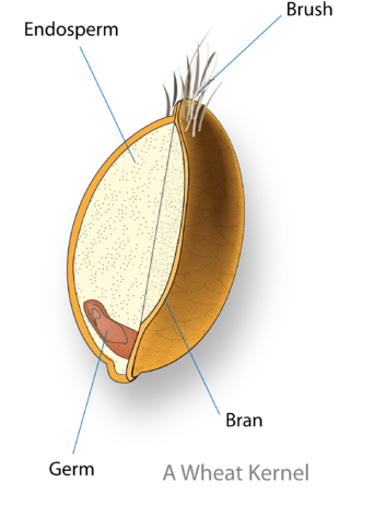 Cross section of a wheat kernel, showing the three primary layers. The starchy endosperm, (white) dwarfs the comparatively small embryo which it nourishes, allowing the young seedling to take off quickly once it germinates. Source.