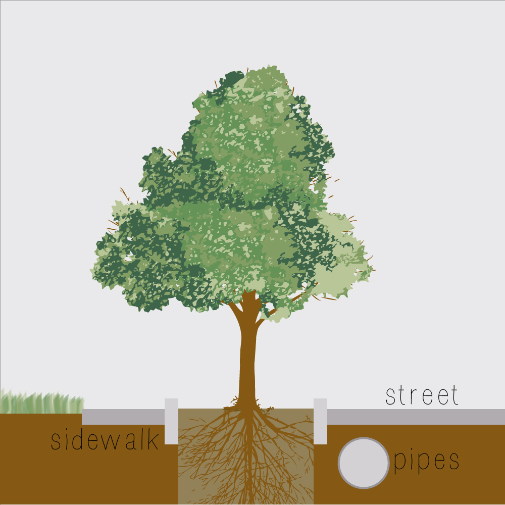 Street trees don't have much space to grow. If given plenty of space most tree roots grow out along the soil surface, not down into the ground. If street trees don't have much space for roots to grow they may easily be knocked over by wind, snow or flooding.