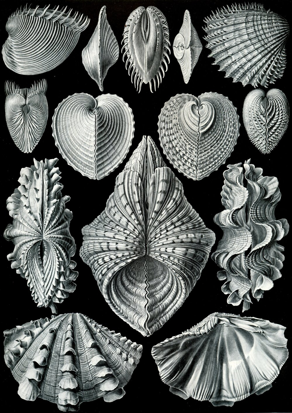 Another one of Haeckel's beautiful illustrations, this time centering on Bivalvia.   Source