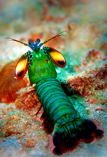 A peacock mantis shrimp. They're beautiful. Source