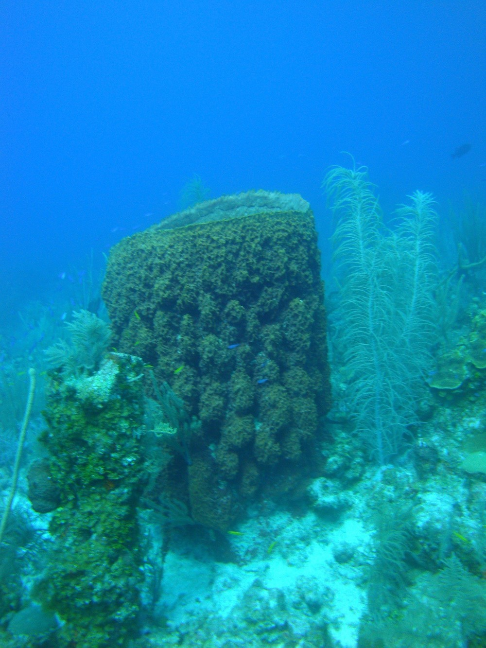 The above photo shows a giant barrel sponge, Xestospongia muta, in the center of the image on a coral reef near Little Cayman in the Caribbean. The sponge in this photo is about 5 ft tall! Next to the sponge are some soft corals and just in front of the sponge are several small colorful reef fish. Photo courtesy of Cara Fiore.
