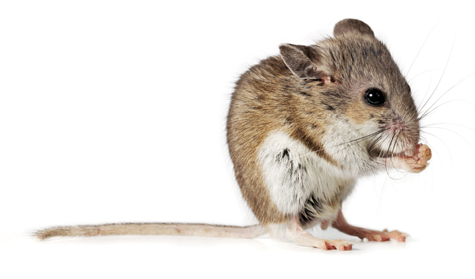 Deer mouse. (Image from pestvictoria.com)