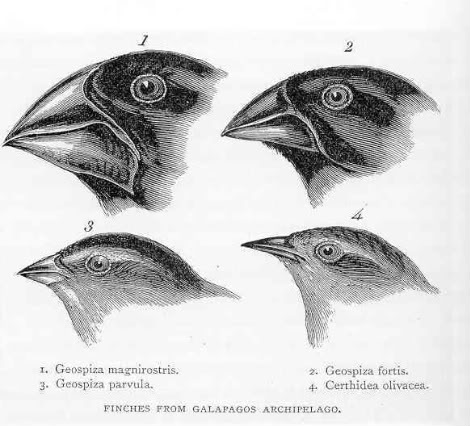 Drawing of Galapagos finches as depicted in Origin of Species by Charles Darwin. (Image from wikipedia)