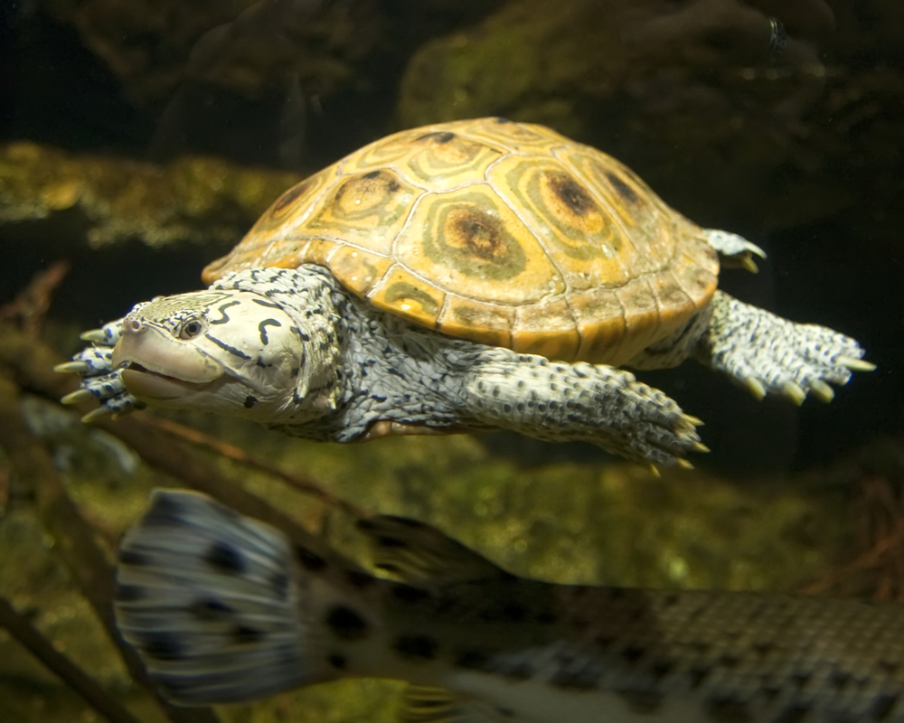 The diamondback terrapin  Malaclemys terrapin  incidentally consumes seeds of eelgrass, increasing germination.  Photo source .
