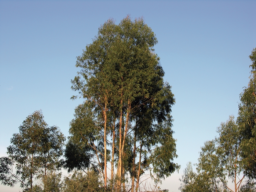 Eucalyptus globulus , commonly known as blue gum, shown here pretending to mind its own business.  Source