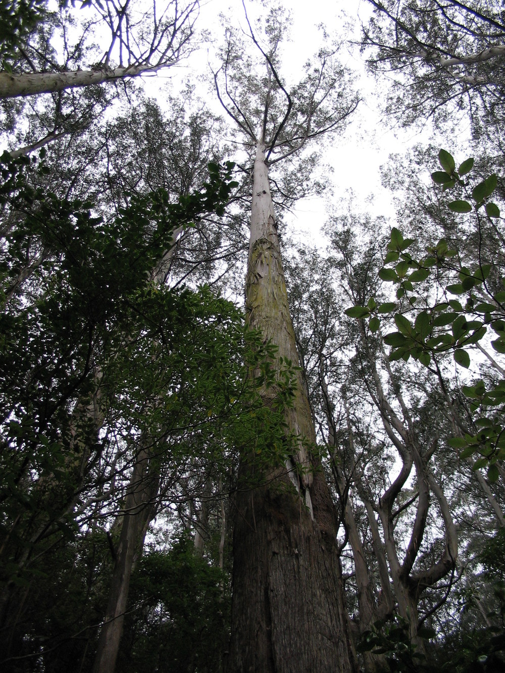 In an ironic coda, the world's tallest  Eucalyptus  trees are found not in its native Australia, but neighbor New Zealand, where the climate is too wet for it to burn itself down. Photo by the author.