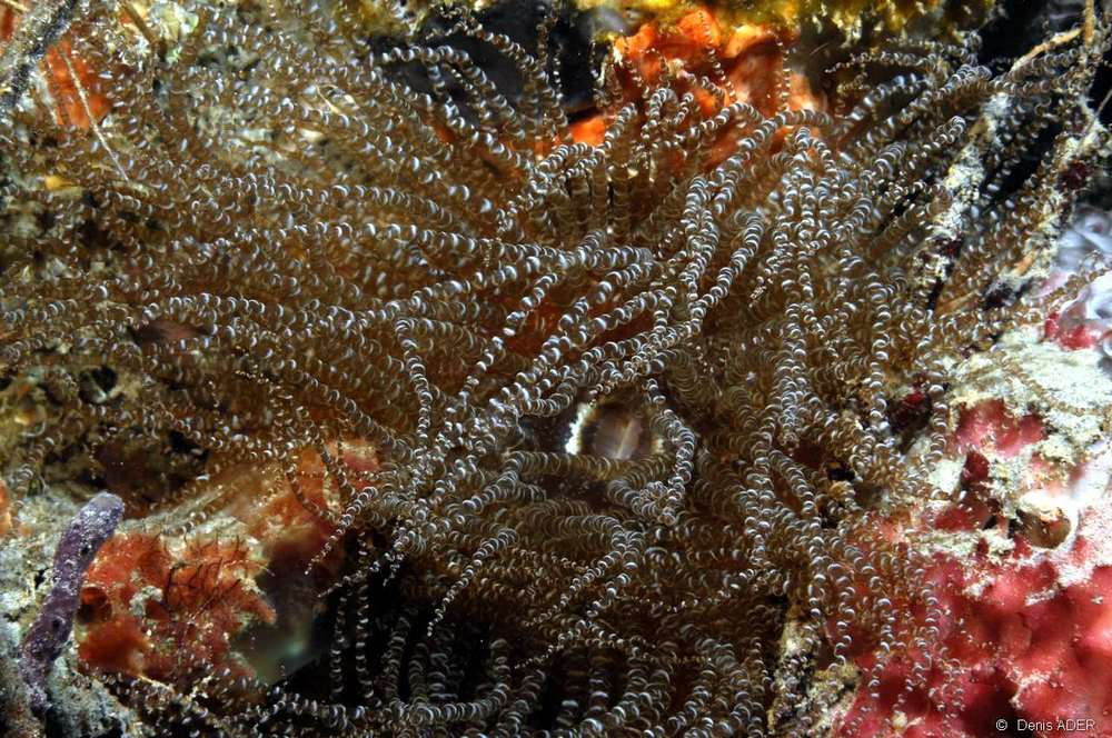 The corkscrew anemone Bartholomea annulata. Photo source. Click for a bigger image.