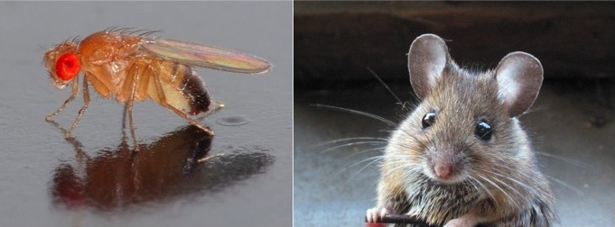Fruit fly (  source  ) and mouse (  source  ).