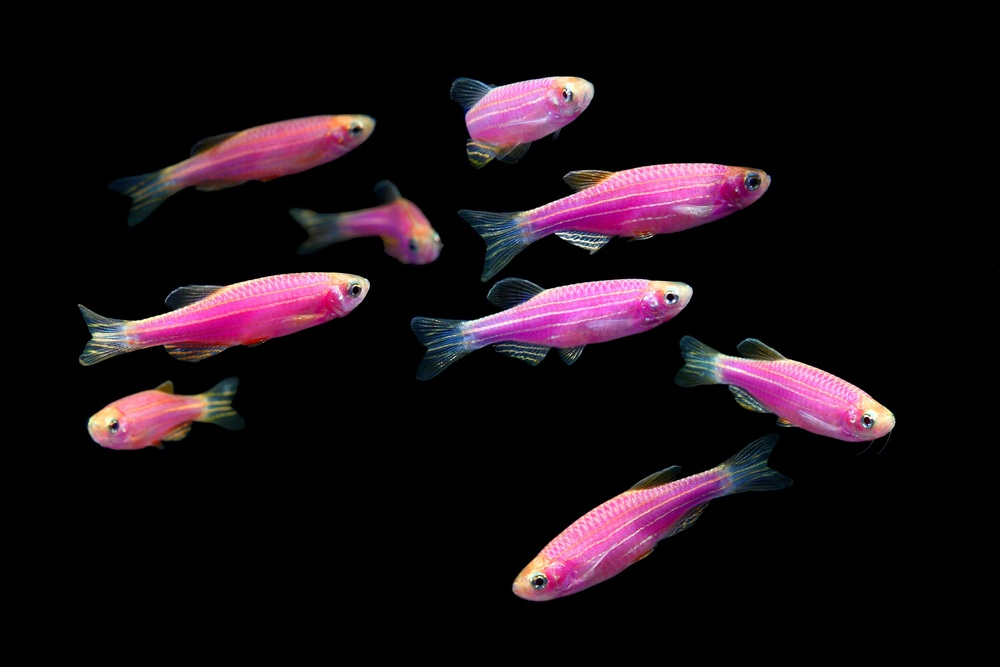 GloFish have coral DNA spliced into their own DNA.  Photo source .