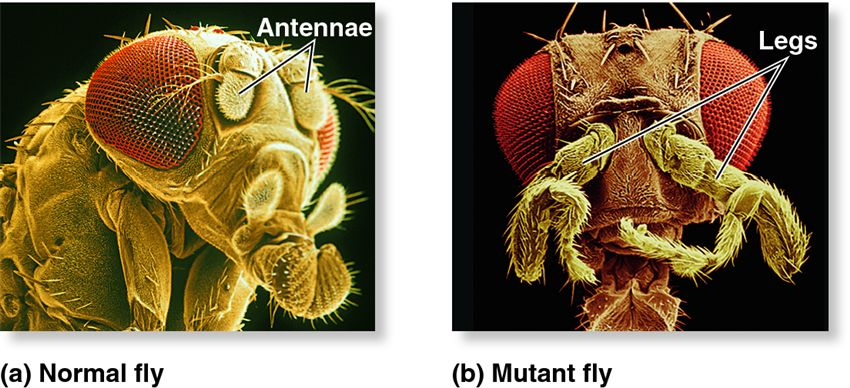 The left fruit fly has normally developed antennae whereas the fly on the right has a mutation at the AntP gene which makes the fly grow legs in place of antennae. The understanding of this phenomenon was elucidated through forward genetics. Photo source.